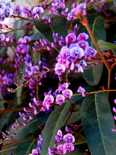 Hardenbergia violacea - plant red kangaroo paws in front and whispy native tree behind