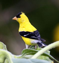 American goldfinch - I never see yellow birds at the feeders, but finally did today - beautiful! Photo © Jason Means, Charleston, West Virginia, August 2008