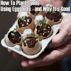 Eggshell seed planters - don't have to up-root seeds to plant (just crack shells), biodegradable, nutrient rich for seeds.