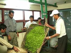 The tea factory, raw tea leaves are being collected!
