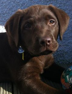 Chocolate Labrador.  My Sir Lancelot looked like this 2 years ago.  I miss those days.
