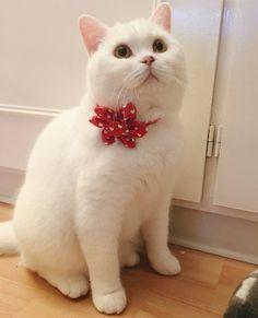 Little Heartbreaker.  #Theodore (This flower collar and... Follow us on Instagram :D #cats #cat #catlover #lovecats #funny #fun #cute #socute #feline #felines #felinefriend #fur #furry #paw #paws #kitten #kitty #kittens #kittycat #kittylove #fluffy #fluff