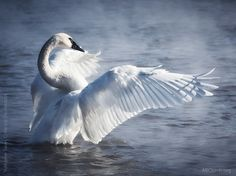 Trumpeter Swan: This majestic swan is the largest waterfowl species native to North America, reaching up to 35 pounds, and is one of the heaviest flying birds in the world. Beautiful Moments, Beautiful Birds, Swan Tattoo, Trumpeter Swan, Fashion Painting, Swan Lake, Colorful Birds, Amazing Nature, Animals And Pets