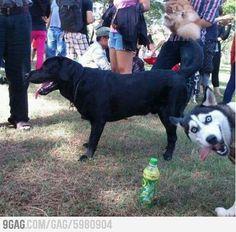 Husky Photobomb!