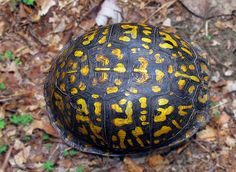 Detail of the shell of a female Eastern Box Turtle. Box Turtles, Cute Baby Turtles, Nature Animals, Zoo Animals, Sea Turtle Wallpaper, Eastern Box Turtle, Kawaii Turtle, Tortoise Turtle, Turtle Love