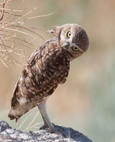 say what? #owls #saywhatowls #birds #saywhat