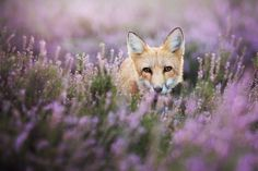 Meet Freya, The Beautiful Fox I Photographed In Polish Woods (10 Photos)