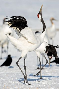 The red crowned crane is known for its elaborate dances with mating pairs. They are a symbol of Japan. This one is in Hokkaido, Japan.