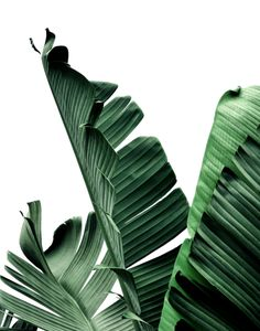 Banana Leaves Beverly Hills California Art Print by SoCal Chic Photography - X-Small Ios Design, Aesthetic Backgrounds, Aesthetic Wallpapers, House Color Palettes, Green Wall Decor, Banana Art, Minimalist Photos, Leaf Photography, Plant Wallpaper