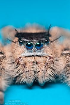 Canopy Jumping Spider female {Phidippus otiosus}, captive, orginating from North America.