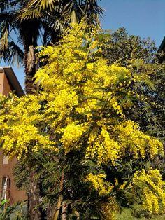 Eccola la mimosa dell'amica Rasa Gabriella... quest'anno fiorita con largo anticipo! Non è uno spettacolo? #LagoDiGarda #VisitLagoDiGarda