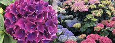 Stell av Hortensia - Få en bugnende Hortensia med våre tips » Hydrangeas, Vegetables, Tips, Plants, Pink, Vegetable Recipes, Plant, Hydrangea Macrophylla, Veggies