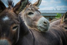 """Some cute donkeys """"horsing"""" around for attention."""