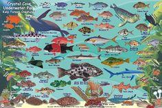 crystal cove underwater park kelp forest creatures | Crystal Cove Underwater Park & Kelp Forest Creatures Identification ...