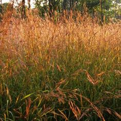Big Bluestem - Type: Perennial Mature Height: 4 - 7 feet Soil Type: Well drained Mature Spread: 2 - 3 feet Flower Color: Purplish Mature Form: Upright - Clump Foliage Color: Silvery-blue Growth Rate: Moderate Fall Color: Reddish copper Sun Exposure: Full sun Moisture Requirements: Adaptable to dry Zones: 4 - 9