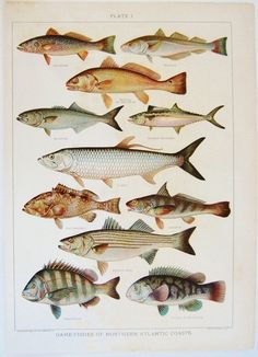 Game Fishes of Northern Atlantic Coasts Print