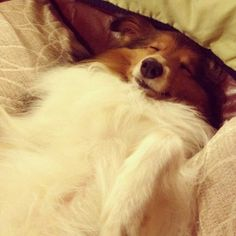 Dog Napper from Sheltie Nation. Shelties are such great nap buddies!