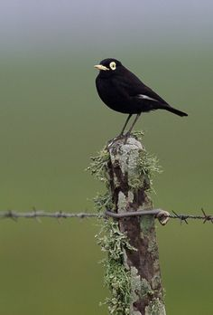 Spectacled tyrant  (Photo by jquental).  I just like the name.  And a stark black and white bird.