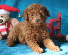 Get A New Puppy Today! View our ADORABLE Newborn Puppies Poodle Puppies For Sale, Newborn Puppies, New Puppy, Dogs, Animals, Animales, Animaux, Pet Dogs, Doggies