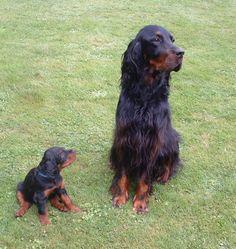 Gordon Setter and Puppy Hidalgo.
