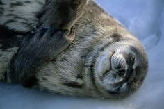 This sleeping seal looks quite content, wonder what he's dreaming of!