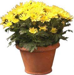 vasi di crisantemi | Saksıda Çiçek Resmi Çizimi