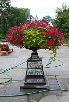 Sweet potato, petunia. Iron pedestal container garden. Elevated container planting.