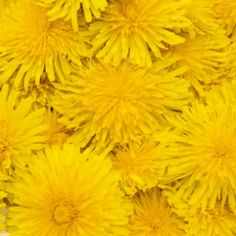 Dandelion Class by Natures Garden talks about the surprising uses for dandelion, how they benefit your skin, and how to use them in cosmetic products.