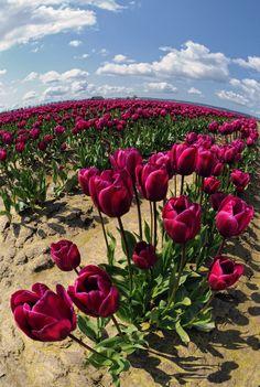 Girls With Flowers, All Flowers, Tulips Garden, Planting Flowers, Beautiful Gardens, Beautiful Flowers, Tulip Festival, Tulip Fields, Rose Wallpaper
