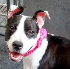 SAFE 8-3-2015 --- Manhattan Center LUNA – A1045607 FEMALE, WHITE / BLACK, PIT BULL MIX, 7 mos STRAY – ONHOLDHERE, HOLD FOR ID Reason STRAY Intake condition EXAM REQ Intake Date 07/27/2015 http://nycdogs.urgentpodr.org/luna-a1045607/