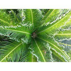 Nestor's Sago palm growing!!