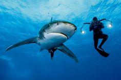 温暖な外洋に分布するヨゴレは、凶暴な「人食いザメ」として船乗りたちに恐れられていたが、乱獲などによって世界の海から急速に姿を消した。