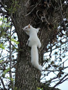 Albino Squirrel In The Tree