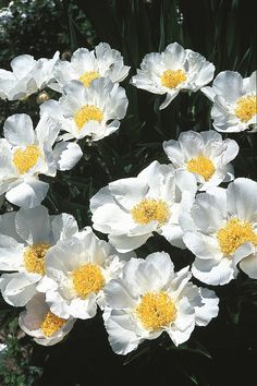 "Paeonia 'Krinkled White' (A.M. Brand 28) Zone: 4a to 8b, Height: 24"" tall Culture: Sun Origin: Hybrid - http://www.plantdelights.com"