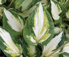 "A mini Hosta called ""Trifecta"". Very different - has a distribution of three colors: pure white in the center, dark green on the margins and a brush stroke of olive-chartreuse separating the two. Grows only 6"" in height, 12"" in width, with soft lavendar flowers in midsummer. Because of its unique coloration, it will illuminate a shady spot in a garden."