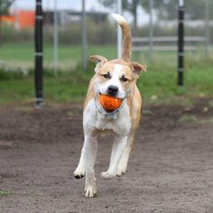 Buster is a 1 year old German Shepherd and Labrador Retriever mix dog who came to the shelter on 9/9 as a stray. Buster is a high energy dude who loves to play fetch and is an all around fun and affectionate dog. Click through to learn more about him!
