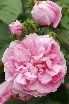Rosa centifolia cristata AKA 'Châpeau de Napoléon' (discovered in Switzerland, 1827)