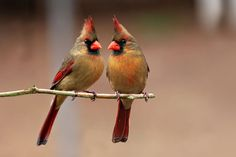 female cardinals - Google Search