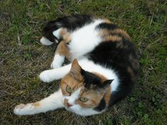 calico cat | Calico_Cat_by_roberture.jpg