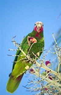 A wild Grand Cayman Parrot... beautiful.