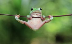 With frog photos taken by Indonesian photographer Tanto Yensen . - With the frog photos taken by Indonesian photographer Tanto Yensen, we see, - Cute Funny Animals, Funny Animal Pictures, Cute Baby Animals, Animals And Pets, Wild Animals, Green Animals, Animals Photos, Funny Frogs, Cute Frogs