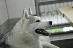 Siberian husky 'ripi'