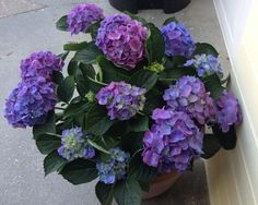 Crazy weather is doing interesting things to my hydrangeas!