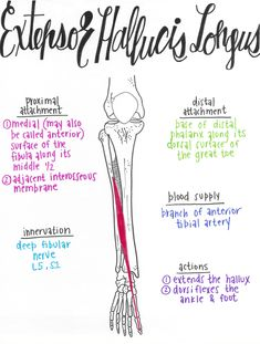 Extensor Hallucis Longus-Anterior Compartment of the Leg Muscles Anatomy Study, Body Anatomy, Forearm Muscle Anatomy, Muscular System Anatomy, Cabinet Medical, Gross Anatomy, Human Anatomy And Physiology, Medical Anatomy, Good Massage