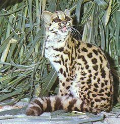 Gato do mato , Os 5 Gatos: Grandes Felinos Brasileiros
