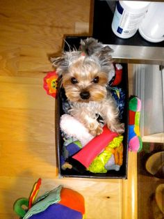 Yorkie in a box.