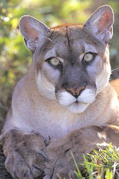 cougar animal | animals - puma cougar