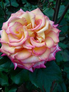 International Rose Test Garden, Portland OR