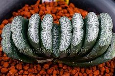 Haworthia truncata 'Sharpness