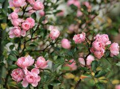 Rosa chinensis - Jardim das Ideias STIHL